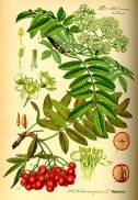 290px-illustration_sorbus_aucuparia0