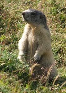 7_marmotte2